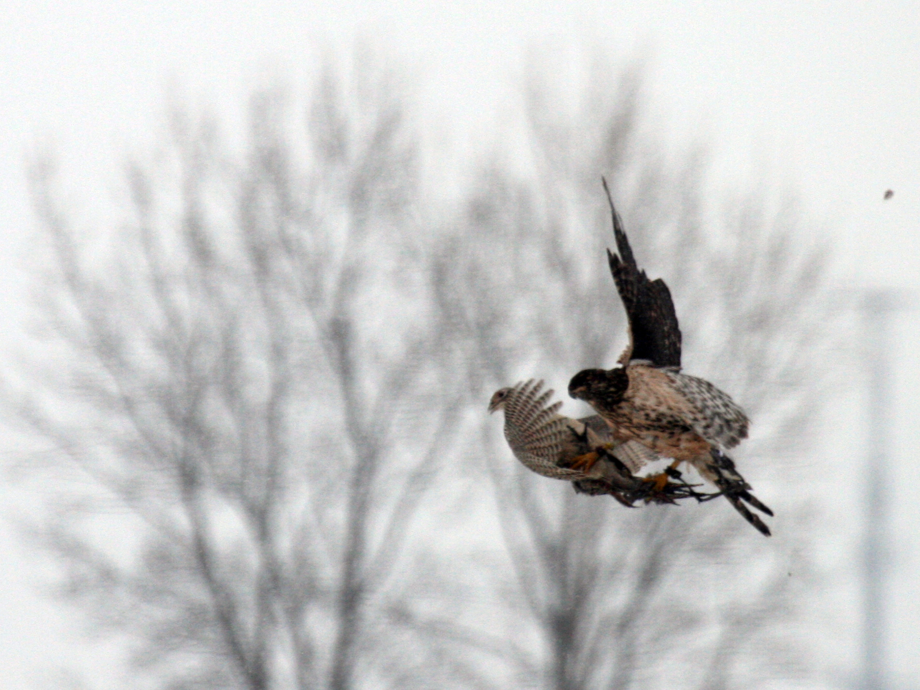 goshawk_catch