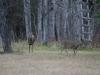 Deer Walking South in Death Valley