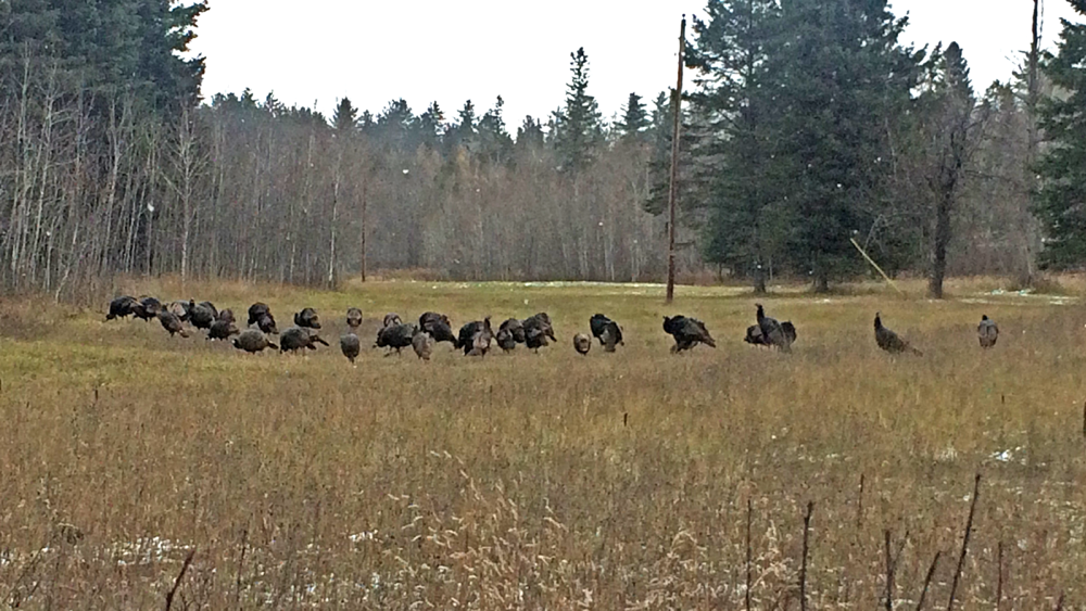 turkeys_2014