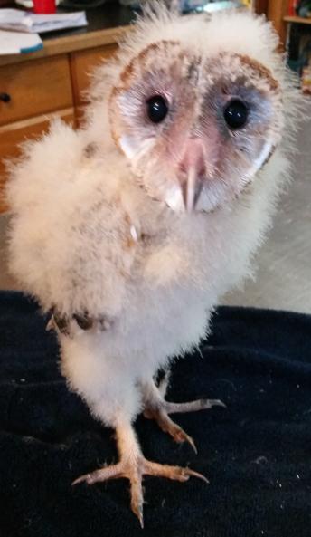 Barn Owl Chick, Mystic