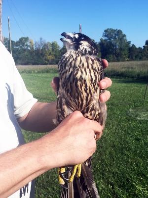 Peregrine Falcon fresh off the trap