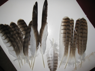 moult_feathers
