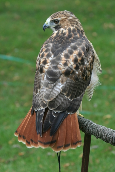 Full Red Tail